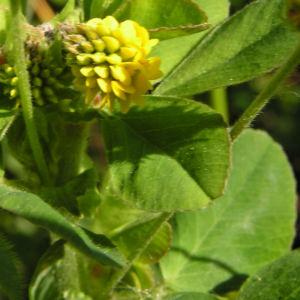 Hopfen Klee Gelbklee Bluete gelb Medicago lupulina 02