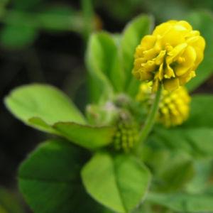 Hopfen Klee Gelbklee Bluete gelb Medicago lupulina 04