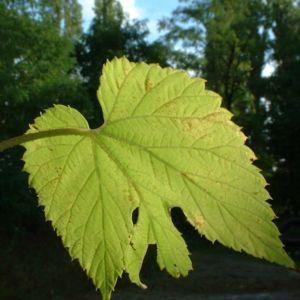 Hopfen Zapfen Humulus lupulus 04