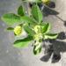Zurück zum kompletten Bilderset Hopfenklee Blüte gelb Medicago lupulina