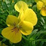 Horn Veilchen gelb Viola cornuta 01