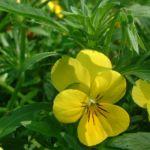 Bild: Horn Veilchen Blüte gelb Viola cornuta