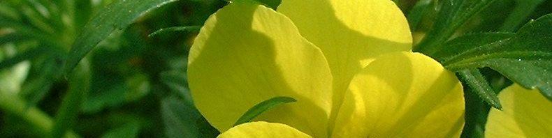 Anklicken um das ganze Bild zu sehen Horn Veilchen Blüte gelb Viola cornuta