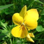 Horn Veilchen gelb Viola cornuta 03