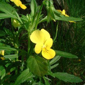Horn Veilchen gelb Viola cornuta 04
