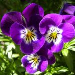 Horn Veilchen lila Bluete Viola cornuta 02