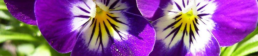 Anklicken um das ganze Bild zu sehen Horn Veilchen lila Blüte Viola cornuta