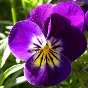 Horn Veilchen lila Bluete Viola cornuta 03