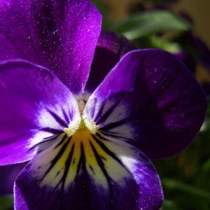 Horn Veilchen lila Bluete Viola cornuta 04