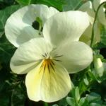 Horn Veilchen weiss Viola cornuta 01