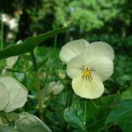 Horn Veilchen weiss Viola cornuta 02