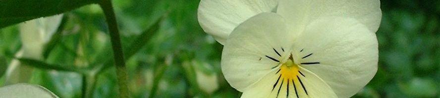 Anklicken um das ganze Bild zu sehen Hornveilchen Blüte weiß Viola cornuta