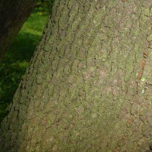 Bild: Hornfrucht Ahorn Acer diabolicum
