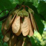 Hornfrucht Ahorn Acer diabolicum 02