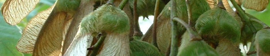 hornfrucht-ahorn-frucht-braun-acer-diabolicum