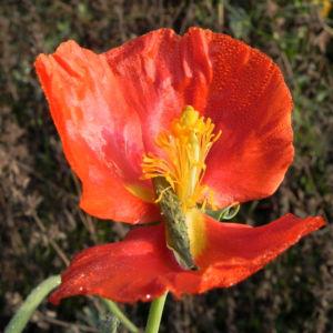 Hornmohn Bluete rot Glaucium spec 05