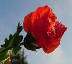 Bild: Hornmohn Blüte rot Blatt silber Glaucium spec