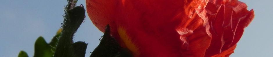 Anklicken um das ganze Bild zu sehen Hornmohn Blüte rot Blatt silber Glaucium spec