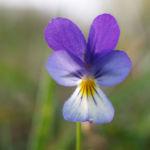 Hornveilchen Bluete blau weiss Viola Cornuta 01
