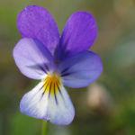 Hornveilchen Bluete blau weiss Viola Cornuta 03