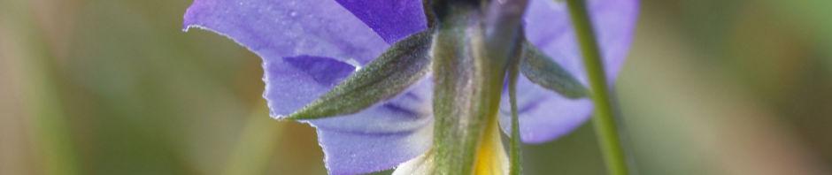 Anklicken um das ganze Bild zu sehen Hornveilchen Blüte blau weiß - Viola cornuta