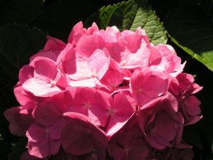 Hortensie Bluete rot Hydrangea hortensia 02