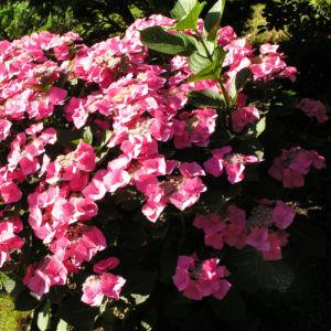 Hortensie Bluete rot Hydrangea hortensia 03