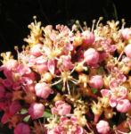 Hortensie Bluete rot Hydrangea hortensia 06