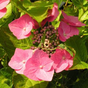 Hortensie Bluete rot Hydrangea hortensia 07