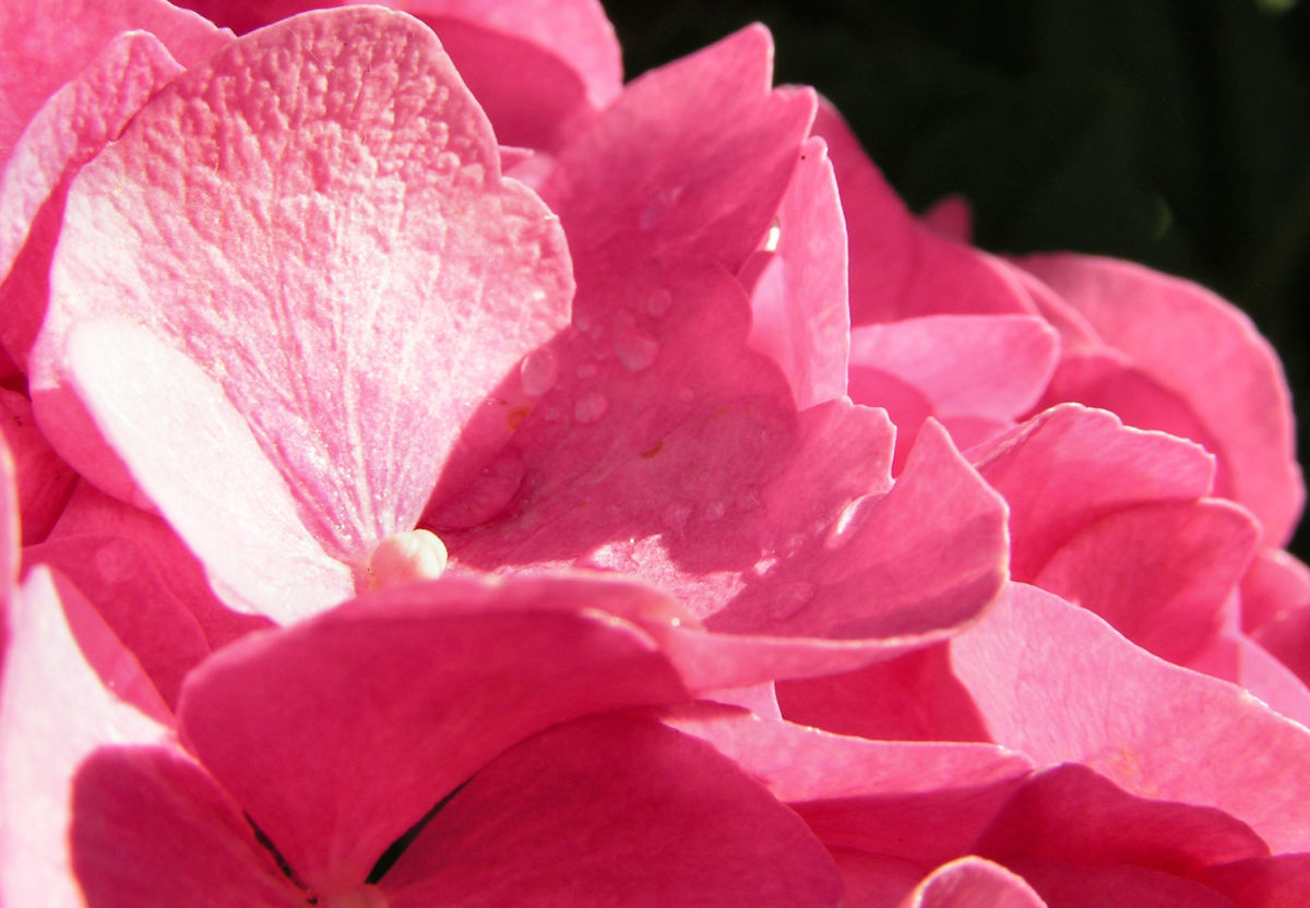 Hortensie Bluete rot Hydrangea hortensia