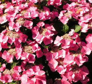 Hortensie Bluete rot Hydrangea hortensia 10