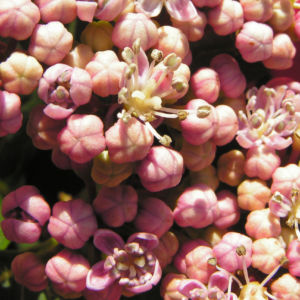 Hortensie Bluete rot Hydrangea hortensia 12