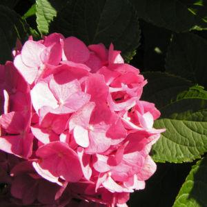 Hortensie Bluete rot Hydrangea hortensia 13