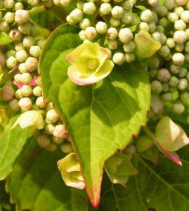 Hortensie Bluete rot Hydrangea hortensia 14