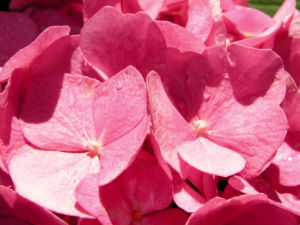 Hortensie Bluete rot Hydrangea hortensia 15