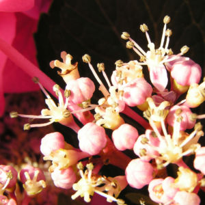 Hortensie Bluete rot Hydrangea hortensia 16
