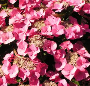 Hortensie Bluete rot Hydrangea hortensia 17