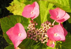 Hortensie Bluete rot Hydrangea hortensia 18