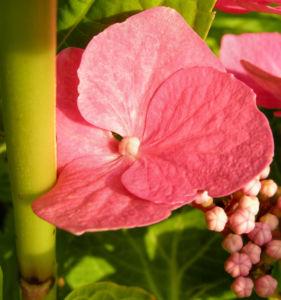 Hortensie Bluete rot Hydrangea hortensia 22