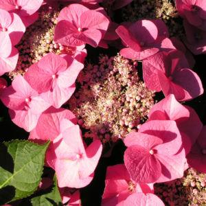 Hortensie Bluete rot Hydrangea hortensia 23
