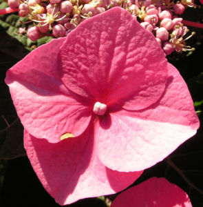 Hortensie Bluete rot Hydrangea hortensia 24