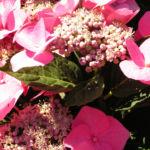 Hortensie Bluete rot Hydrangea hortensia 25