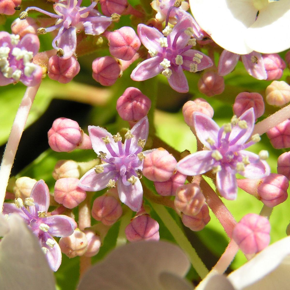 Hortensie Bluete weiss Hydrangea hortensia