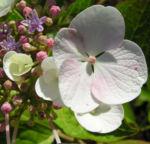 Hortensie Bluete weiss Hydrangea hortensia 02