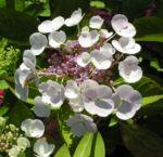 Hortensie Bluete weiss Hydrangea hortensia 03