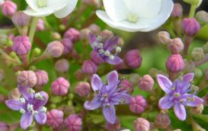 Hortensie Bluete weiss Hydrangea hortensia 04