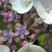 Zurück zum kompletten Bilderset Hortensie Blüte weiß Hydrangea hortensia