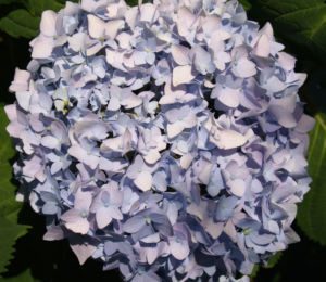 Hortensie Strauch Bluete blasslila Hydrangea macrophylla 01