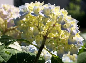 Hortensie Strauch Bluete blasslila Hydrangea macrophylla 02