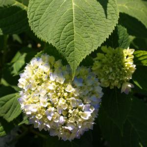 Hortensie Strauch Bluete blasslila Hydrangea macrophylla 05